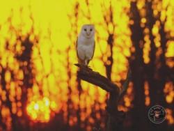 Barn Owls Dawn Dusk Russell Savory 04