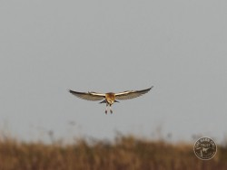 Barn Owls Flying Hunting 01