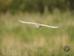 Barn Owls Flying Hunting 02