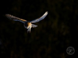 Barn Owls Flying Hunting 03