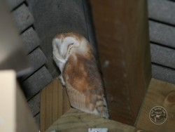 Barn Owls In Their Habitat 02
