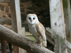 Barn Owls In Their Habitat 03