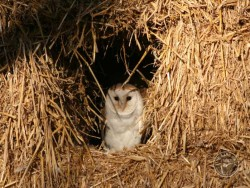 Barn Owls In Their Habitat
