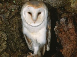 Barn Owls In Their Habitat (Kevin Keatley) 02