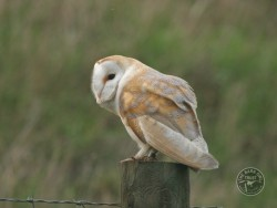 Barn Owls In Their Habitat (Nick Sampford) 01