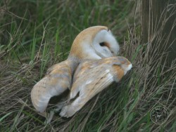 Barn Owls In Their Habitat (Nick Sampford)