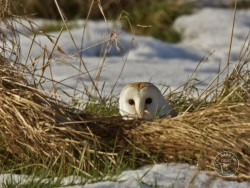 Barn Owls In Winter 01