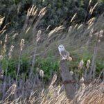 Barn Owls In Winter 08