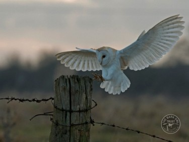 Barn Owls In Winter 16