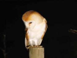 Barn Owls Perched Hunting 01