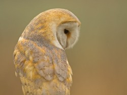 Barn Owls Perched Hunting 03