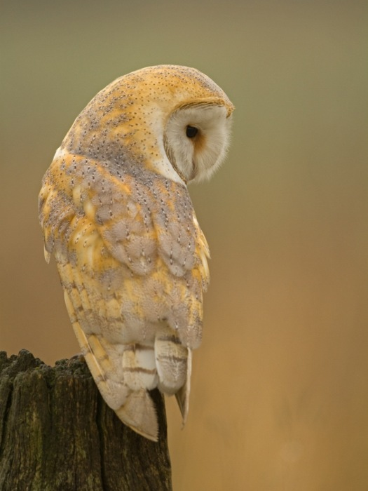 Barn Owl Hunting from a perch