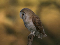 Barn Owls Perched Hunting 04