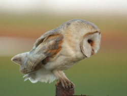 Barn Owl Perched Hunting Nick Sampford Barn Owl photos