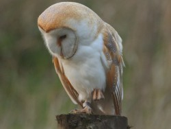 Barn Owl Perched Hunting