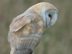 Barn Owls Perched Hunting 08