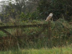 Barn Owls Perched Hunting 09