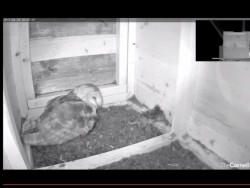 Barn Owl Nestcam Cornell Lab Of Ornithology
