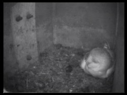 Barn Owl Nestcam Essex Wildlife Trust