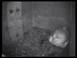 Barn Owl Nestcam Essex Wildlife Trust