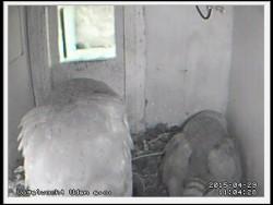 Barn Owl Nestcam Vogelwacht Uden