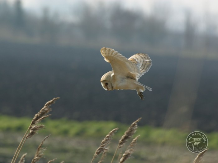 Barn Owl Flying Hunting