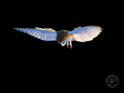 Barn Owls Flying Hunting Barn Owl photos