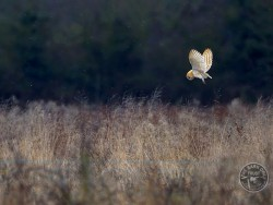Facts about Barn Owls hunting and feeding