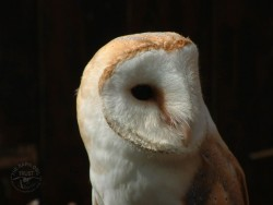Barn Owl Close Up Wallpapers