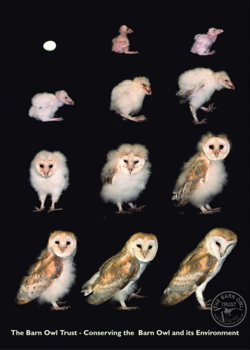 Barn Owl facts - from egg to adult in 63 Days