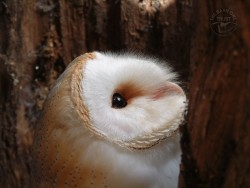 Barn Owl In Hollow Tree Wallpaper photo