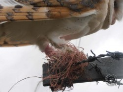 Barn Owl Legs With Barbed Wire