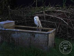 Barn Owl On Water Trough With Float