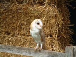 Barn Owl Wallpaper backgrounds