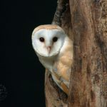 Barn Owl Wallpapers desktop backgrounds