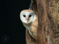 Barn Owl Wallpapers desktop backgrounds