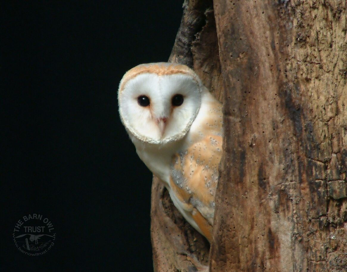 Barn Owl Wallpapers Melanie Lindenthal