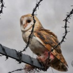 Barn Owl With Barbed Wire