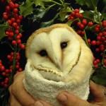 Barn Owl With Holly