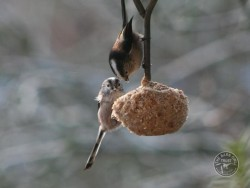 Bird Cake Long Tailed Tits