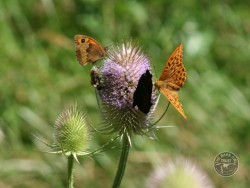 Butterflies Of Rough Grassland 02