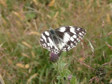 Butterflies Of Rough Grassland 09
