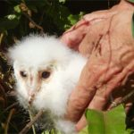 Baby Barn Owl rescue