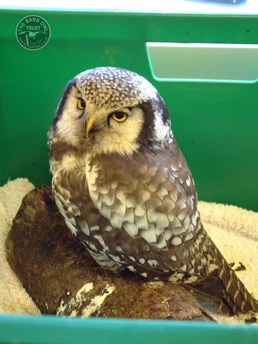 Captive Hawk Owl rescued [Chiara Bettega]