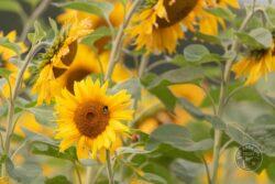 Sunflower August 2021 Photo: Tony Utting