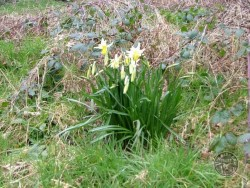 Daffodill (Narcissus Pseudonarcissus)