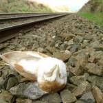 Dead Barn Owl Railway Line