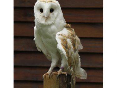 Del owl Adoption