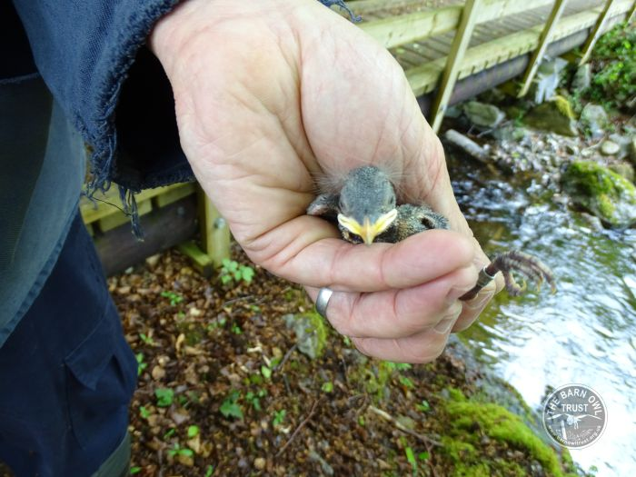 Dipper pullus being ringed, LLP Wildlife Diary May 2015