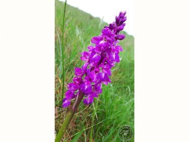 Early Purple Orchid, LLP 110516 [Lexie New] (B)